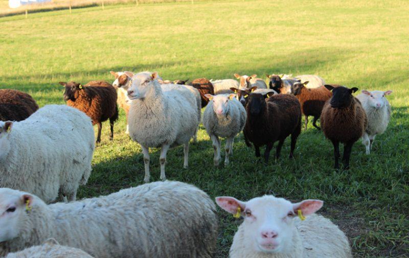 Seppälän lammastila